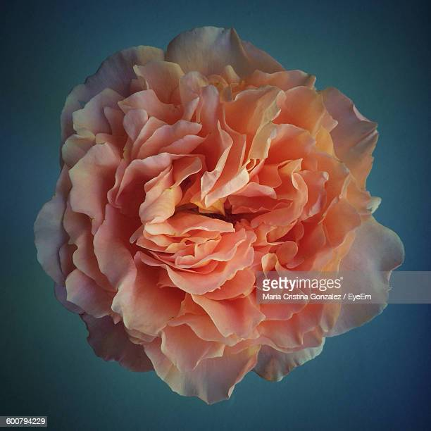 Close-Up Of Fresh Rose Against Turquoise Background