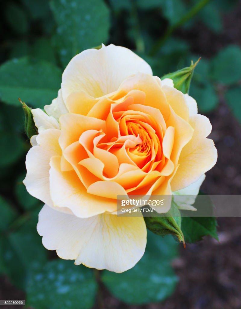 Close-up of fresh rose : Stock Photo