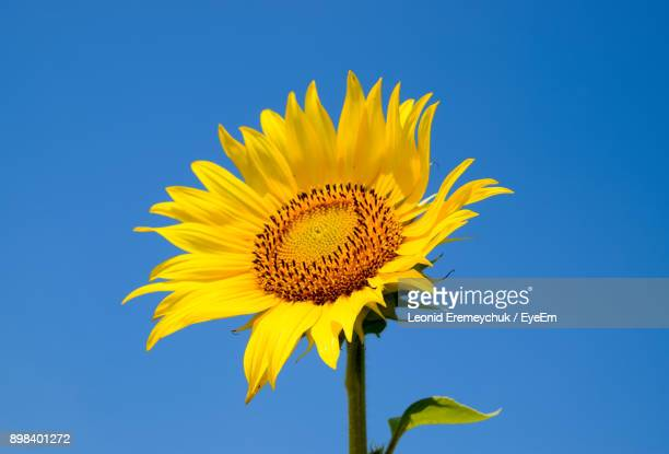 close-up of fresh sunflower against clear blue sky - girasoli foto e immagini stock