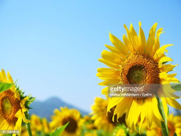 Close-Up Of Fresh Sunflower Blooming Against Clear Blue Sky