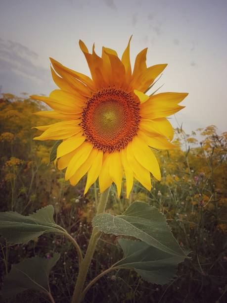 Close-Up Of Fresh Sunflower Blooming In Field Against Sky