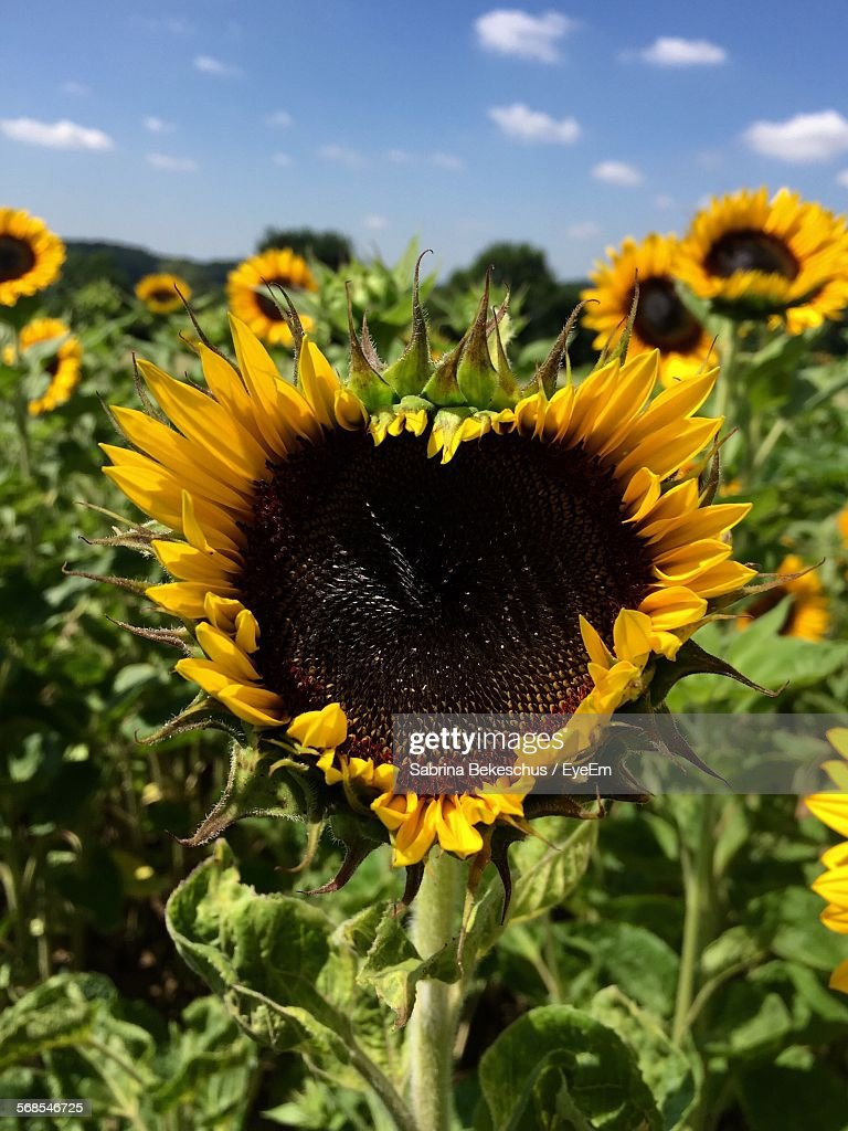 Close-Up Of Fresh Sunflower In Heart Shape Against Sky : Stock Photo