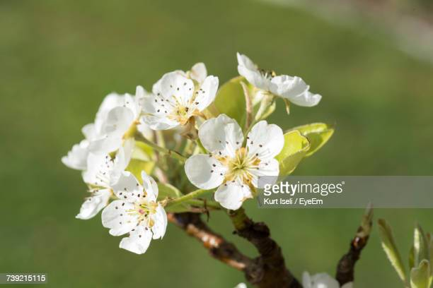 Close-Up Of Fresh White Apple Blossoms In Spring