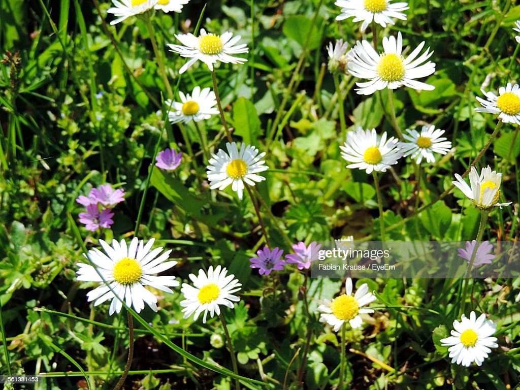 Closeup Of Fresh White Daisy Flowers In Garden Stock Photo Getty