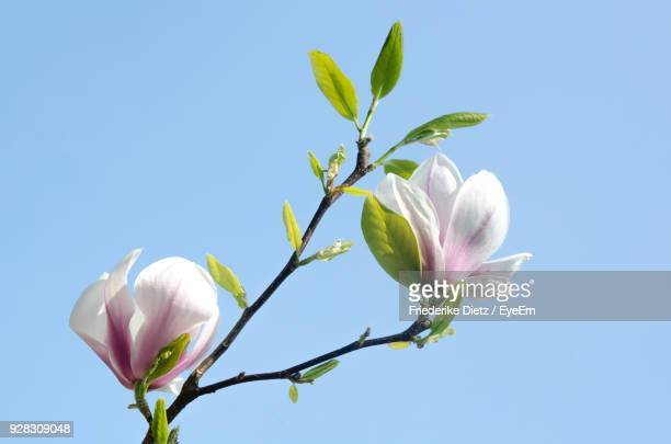 close-up of fresh white flowers against clear sky - magnolia stock photos and pictures