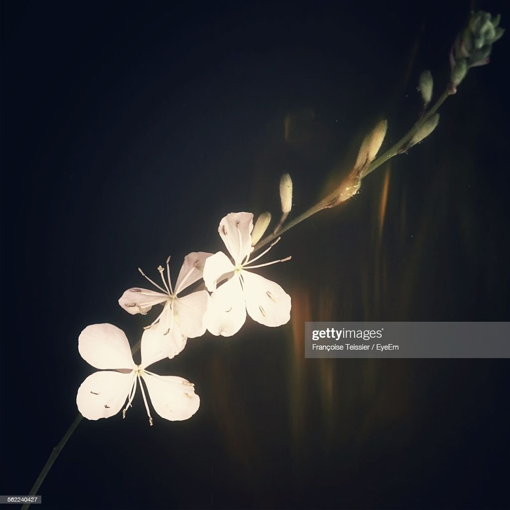 Closeup Of Fresh White Flowers Blooming In Nature At Night Stock
