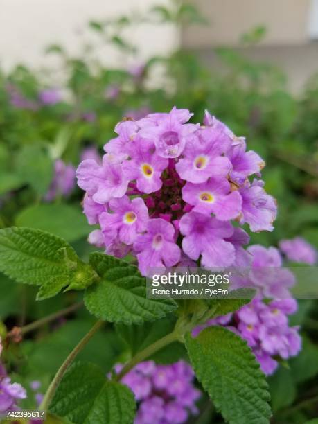 close-up of fresh white flowers blooming outdoors - lantana stock pictures, royalty-free photos & images