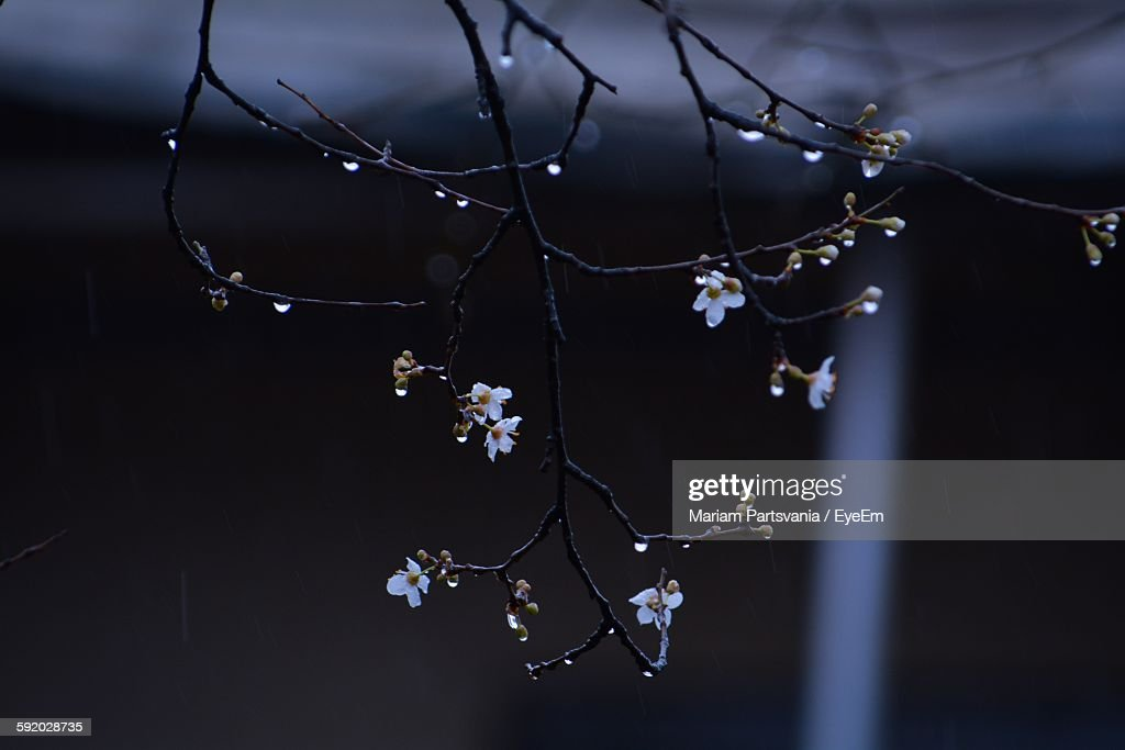 closeup of fresh white flowers with rain drops on twigs ストック