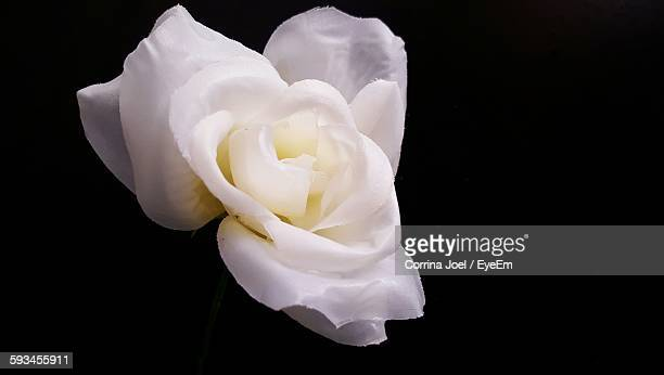 Close-Up Of Fresh White Rose Against Black Background