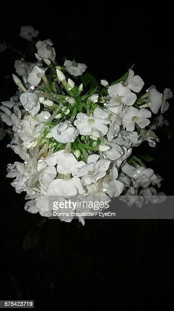 Close-Up Of Fresh White Wet Jasmine Blooming Against Black Background