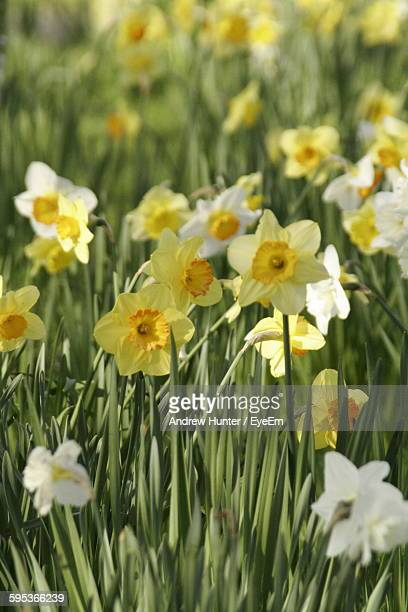 Close-Up Of Fresh Yellow Daffodils Blooming In Field