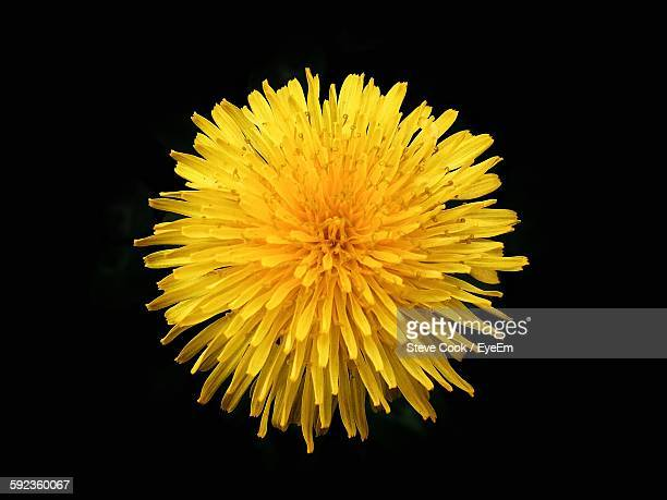 Close-Up Of Fresh Yellow Dandelion Blooming Against Black Background