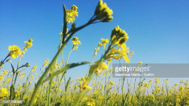 close-up of fresh yellow flowering plants against clear blue sky - brassica stock photos and pictures