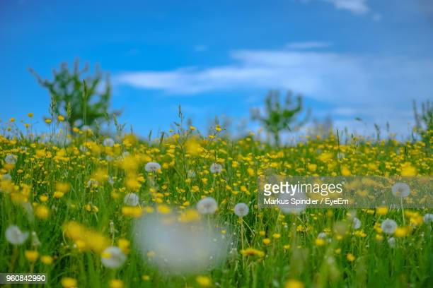 Close-Up Of Fresh Yellow Flowering Plants On Field Against Sky
