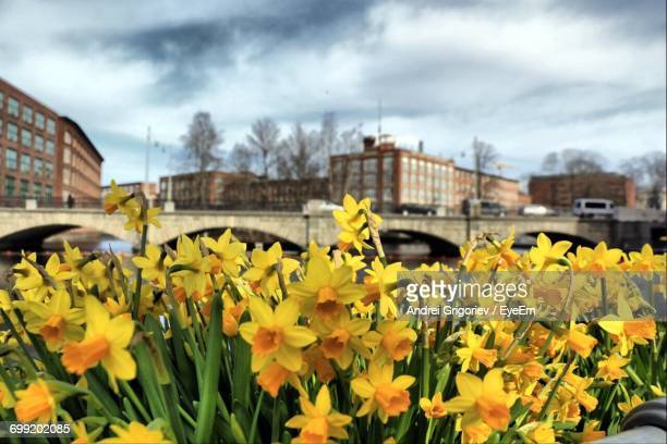Close-Up Of Fresh Yellow Flowers Blooming In City Against Cloudy Sky
