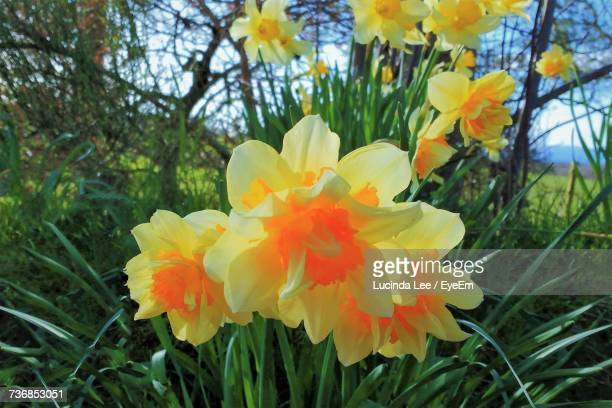 close-up of fresh yellow flowers blooming in park - lucinda lee stock photos and pictures