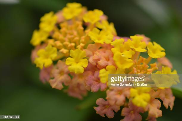 Close-Up Of Fresh Yellow Flowers Blooming Outdoors