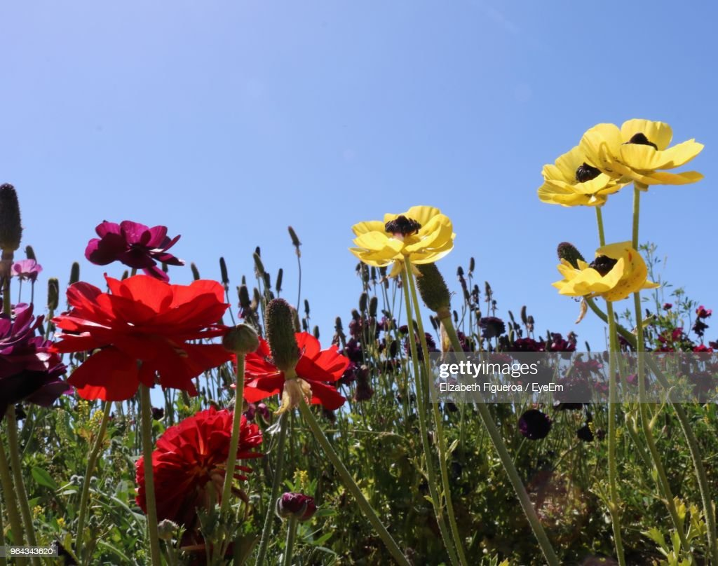 Closeup Of Fresh Yellow Flowers In Field Against Clear Sky Stock