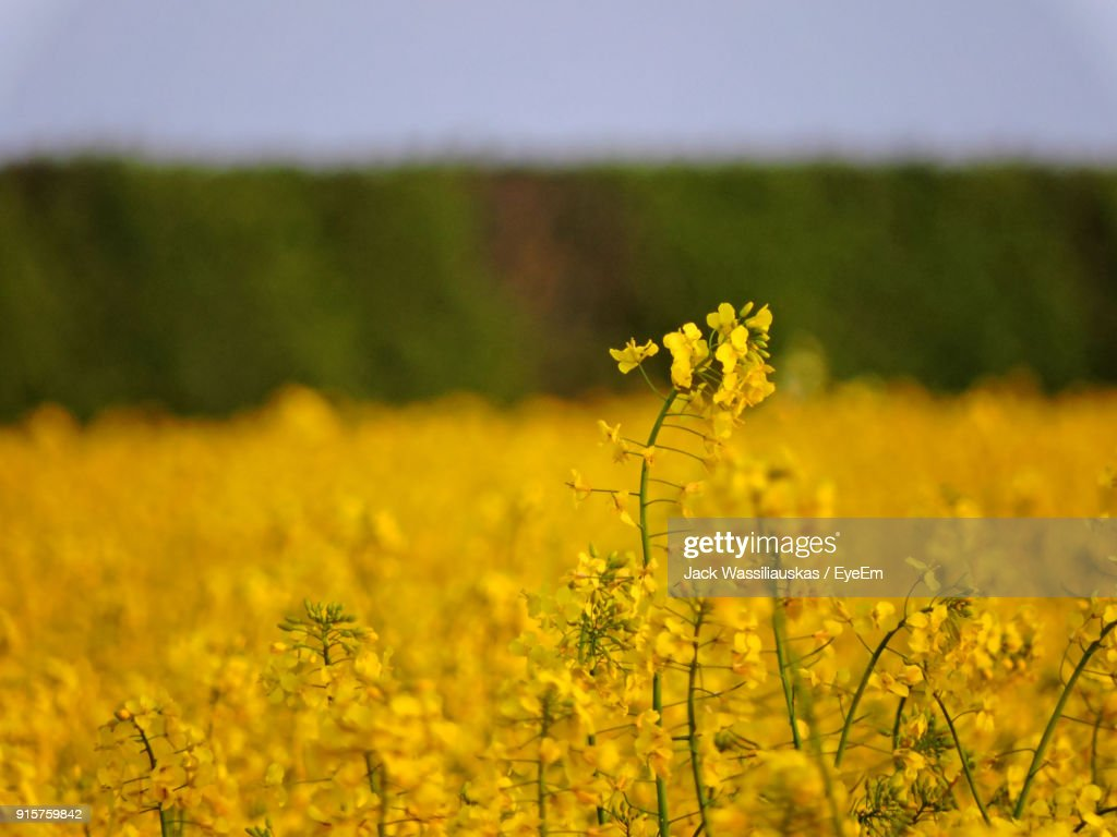 Closeup Of Fresh Yellow Flowers In Field Stock Photo Getty Images