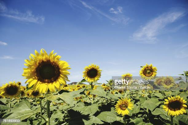Close-Up Of Fresh Yellow Sunflower Field Against Sky