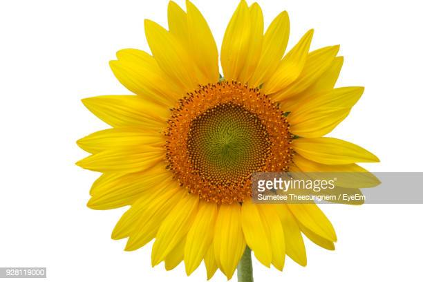 close-up of fresh yellow sunflower - girasoli foto e immagini stock