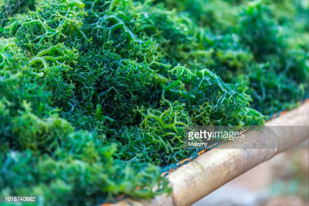 close-up of freshly farmed seaweed. nusa lembongan, bali, indonesia. - seaweed stock pictures, royalty-free photos & images
