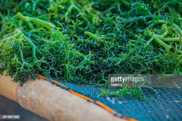 Close-up of freshly farmed seaweed, Nusa Lembongan
