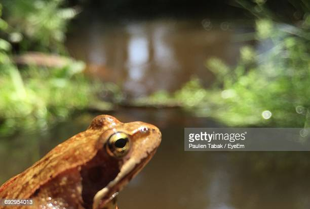 close-up of frog against pond - paulien tabak 個照片及圖片檔