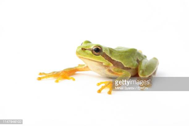 close-up of frog against white background - frog stock pictures, royalty-free photos & images