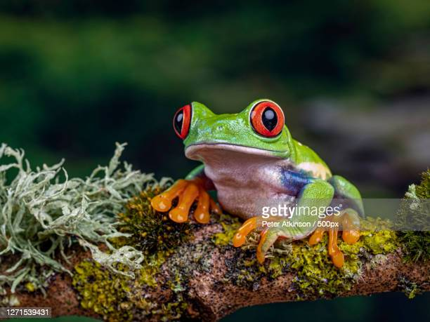 close-up of frog on branch, ringwood, united kingdom - animal stock pictures, royalty-free photos & images