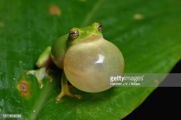close-up of frog on leaf, munnar, india - images stock pictures, royalty-free photos & images