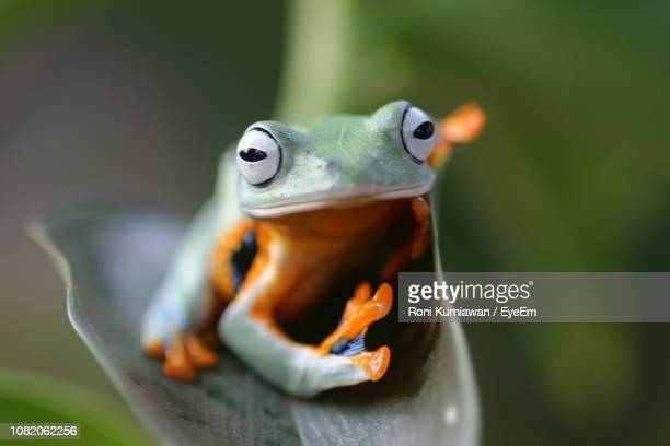 close-up of frog on leaf - java stock pictures, royalty-free photos & images
