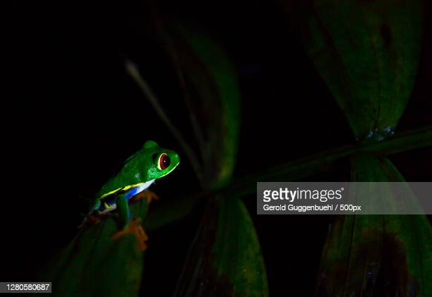 close-up of frog on leaf,provinz alajuela,la fortuna,costa rica - gerold guggenbuehl stock-fotos und bilder