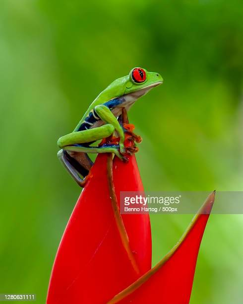 close-up of frog on plant, provincia de cartago, costa rica - frog stock pictures, royalty-free photos & images