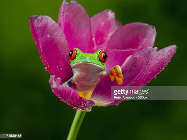 close-up of frog on purple flower, ringwood, united kingdom - looking stock pictures, royalty-free photos & images