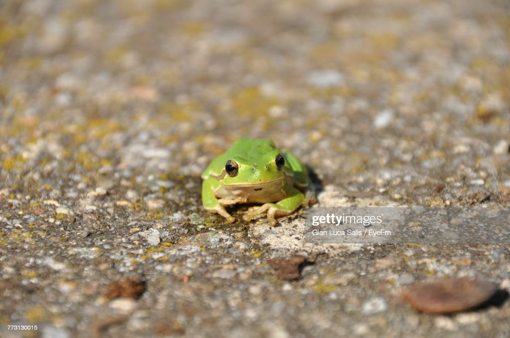 Close-Up Of Frog On Road : Photo