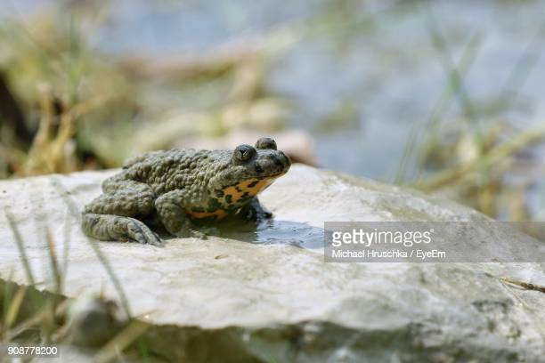 close-up of frog on rock - michael hruschka stock pictures, royalty-free photos & images