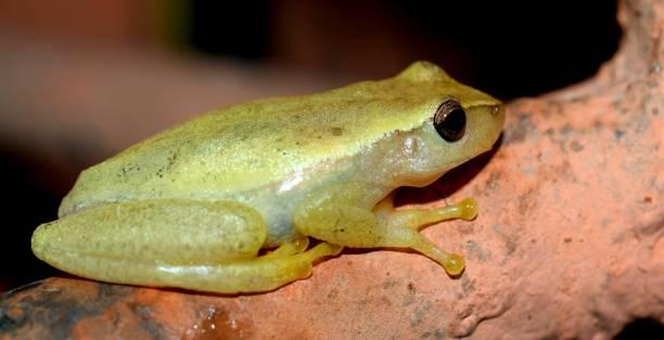 Close-up of frog on rock,Ecatepec de Morelos,Mexico