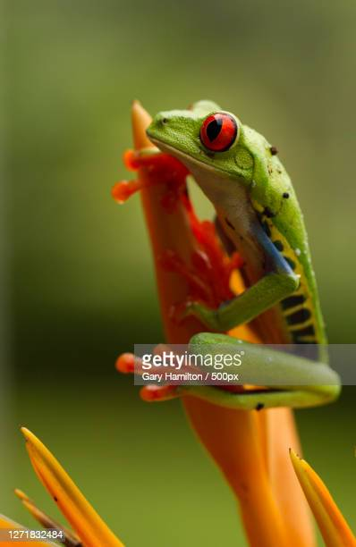 close-up of frog on twig - tree frog stock pictures, royalty-free photos & images