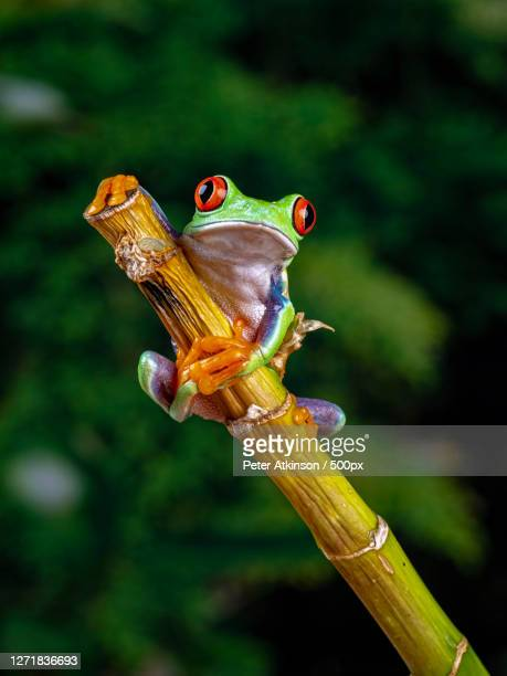 close-up of frog on twig - frog stock pictures, royalty-free photos & images