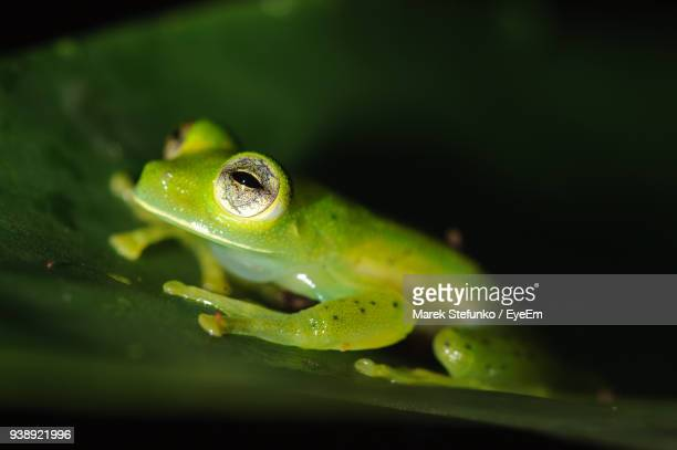 close-up of frog on wet leaf - marek stefunko - fotografias e filmes do acervo