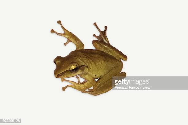 close-up of frog over white background - grenouille photos et images de collection