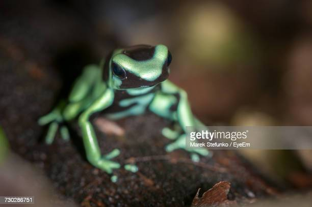 close-up of frog - marek stefunko stock photos and pictures