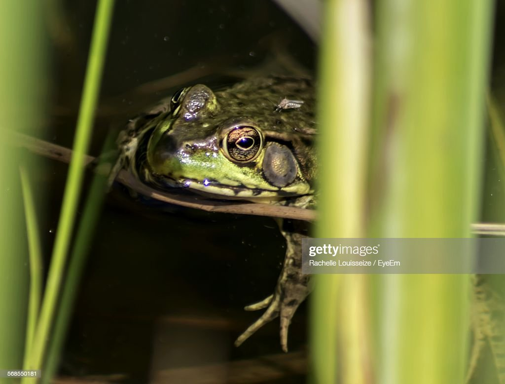 Close-Up Of Frog Swimming In Water : Stock Photo