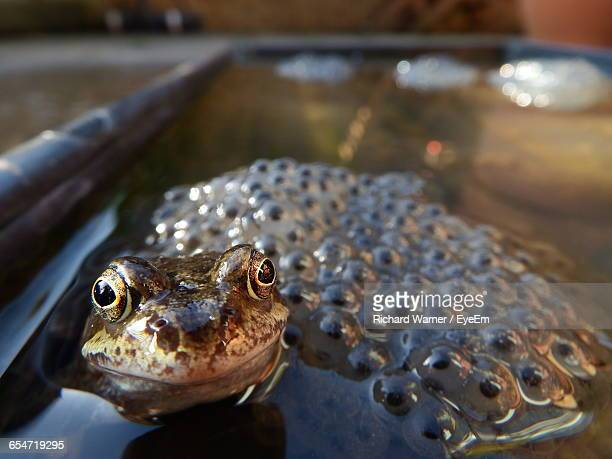 Close-Up Of Frog With Spawns In Pond