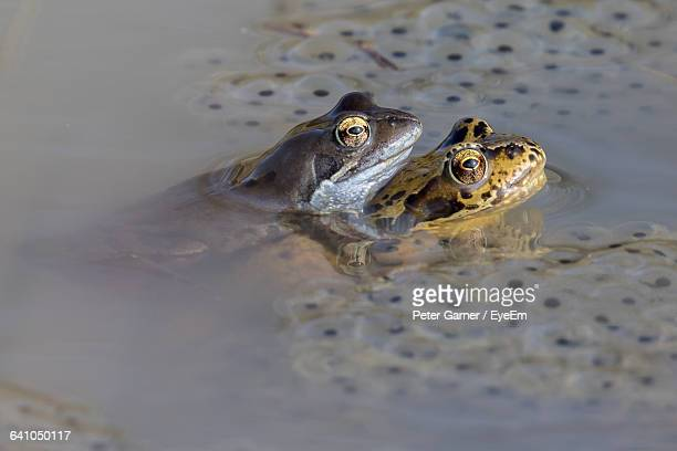 Close-Up Of Frogs Mating In Water