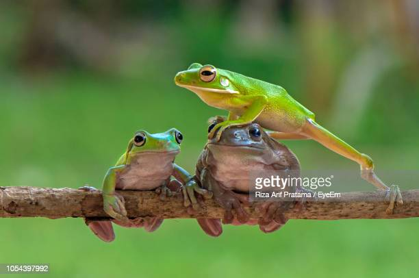 Close-Up Of Frogs On Branch