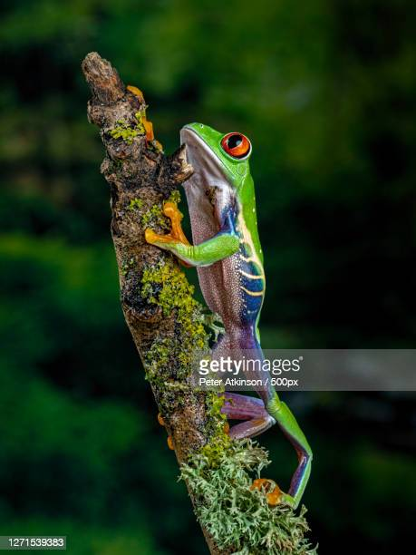 close-up of frogs on branch, ringwood, united kingdom - frog stock pictures, royalty-free photos & images