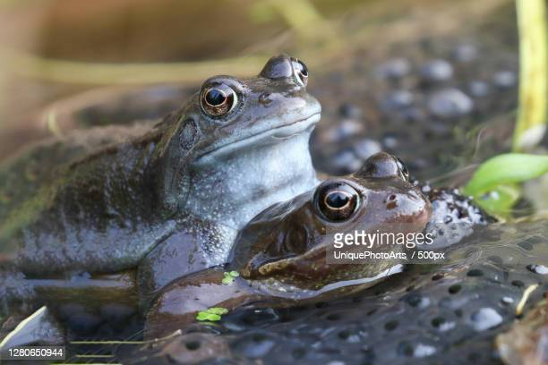 close-up of frogs on plant, twitchen, united kingdom - frog stock pictures, royalty-free photos & images