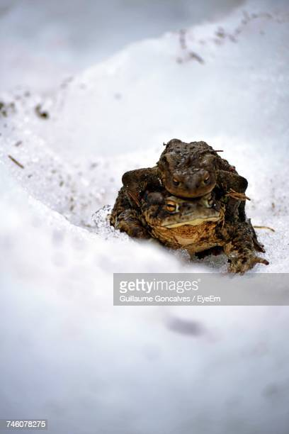 Close-Up Of Frogs On Snow Covered Ground
